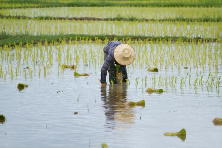 Thai peasant agriculture