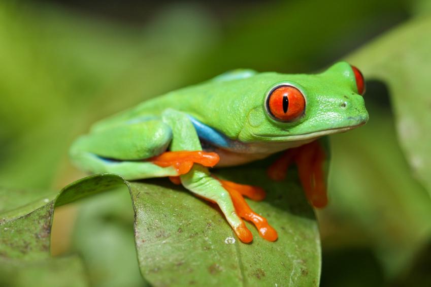 iStock_treefrog
